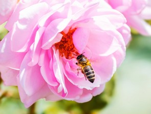 Bee Pollinating Rose