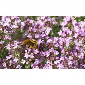 thyme with bee